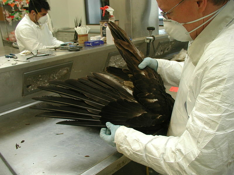 The wing of a deceased bald eagle.