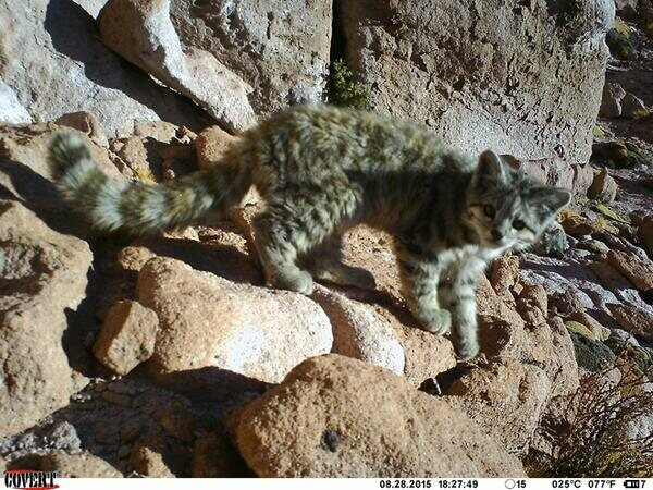 FOUND: An Extremely Rare Andean Cat