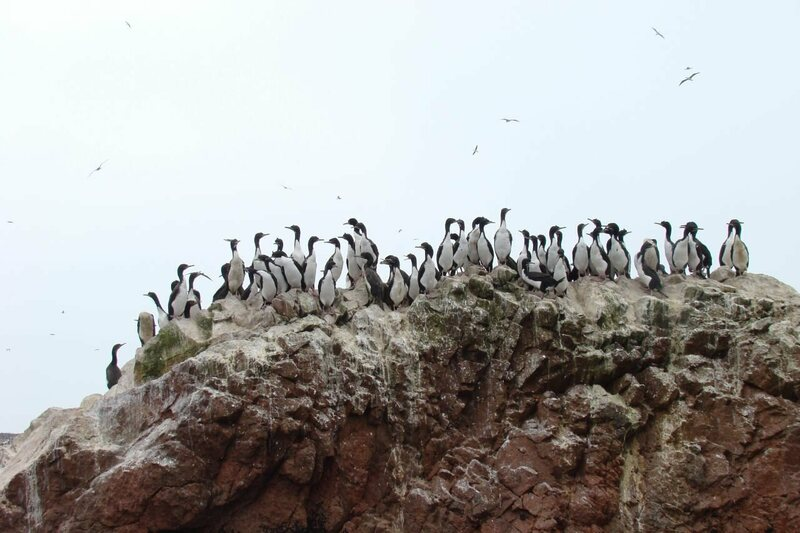 Guanay cormorants, top-notch guano producers, hanging out in Peru.