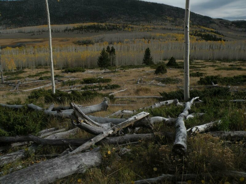 An area of Pando that is noticeably losing density.