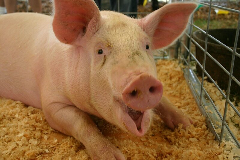Why Meat from Scared Animals Tastes Worse - Gastro Obscura