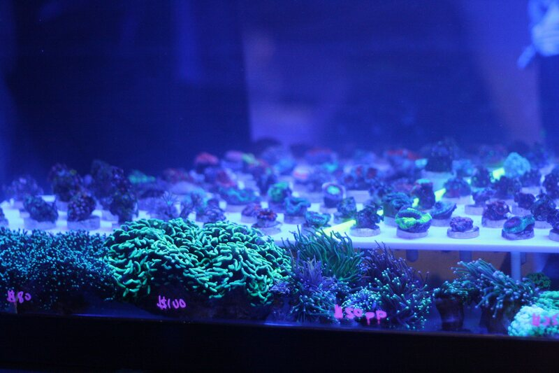 Burbling tanks of frags for sale glow under blacklights at the Manhattan Reefs Fall Frag Swap.