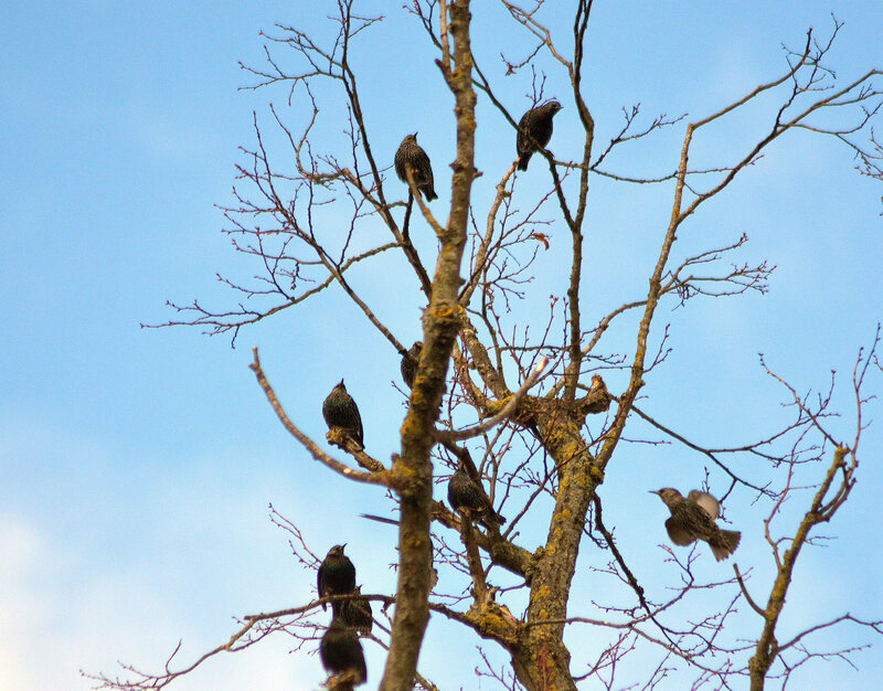 Starlings up a tree.