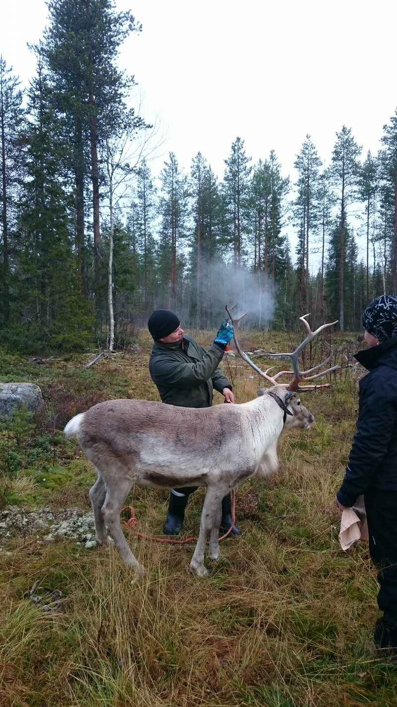 A member of the Reindeer Herder's Association sprays down a test subject. (Photo: Reindeer Herder's Association)