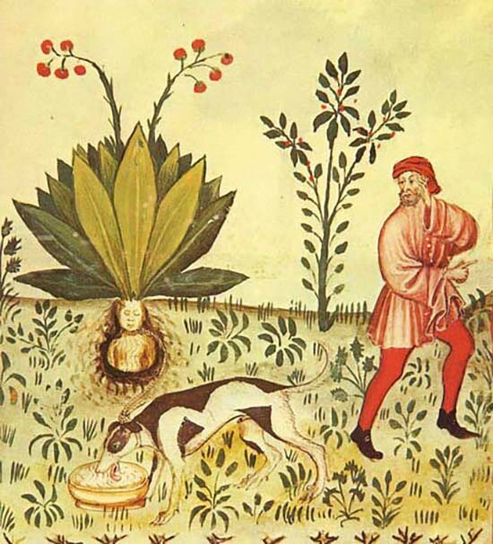 Mandrake (Mandragora officinarum), scanned from 15th century manuscript Tacuinum Sanitatis