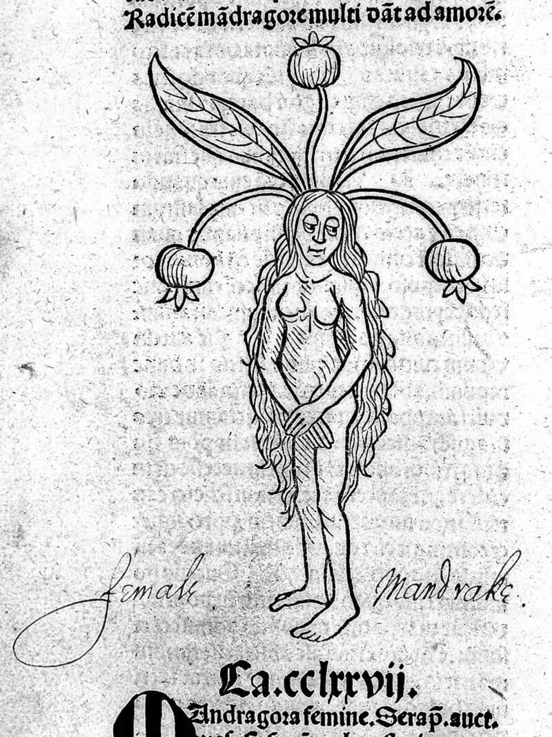 Hortus sanitatis: plants, mandrake female.
