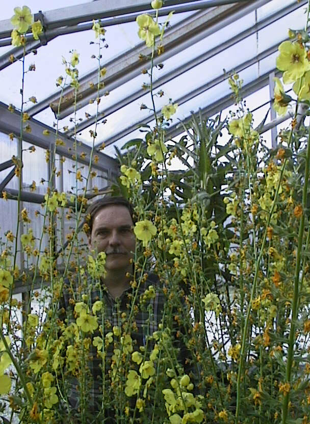 Dr. Telewski in 2001, among some thriving century-old moth mullein.