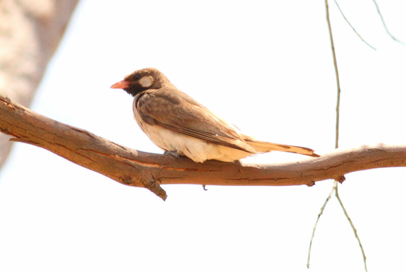The greater honeyguide (Indicator indicator), friend to honey-lovers everywhere.