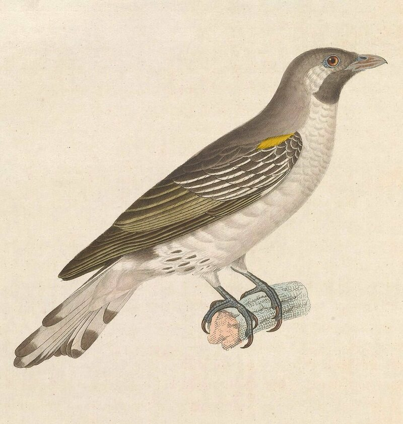 An illustration of the honeyguide from 1838.