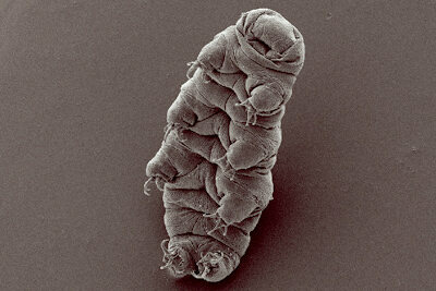 A scanning electron microscope image of a tardigrade, seeming pleased with its indestructibility.