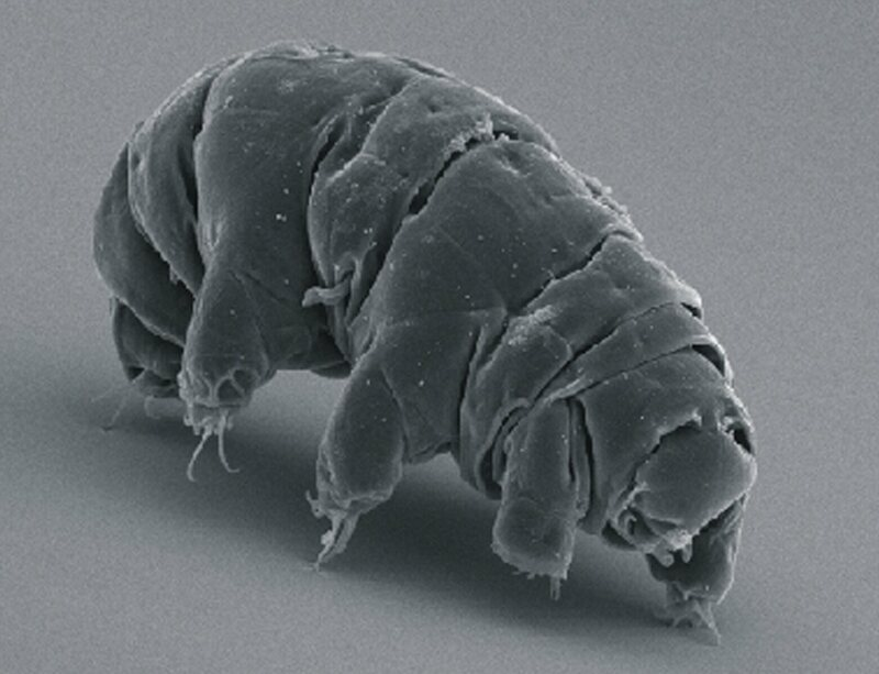 An active tardigrade, on the hunt for new records to break.