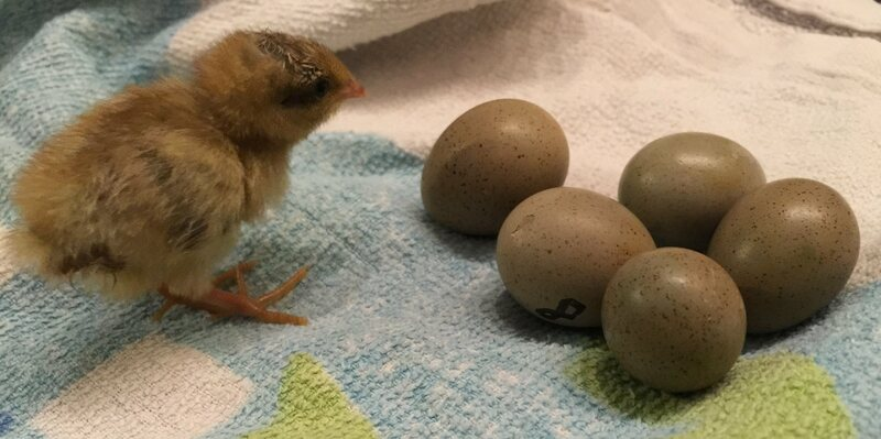 A king quail chick and some unhatched eggs.