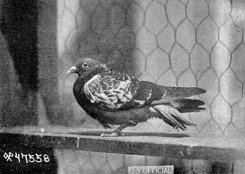 Cher Ami the Pigeon