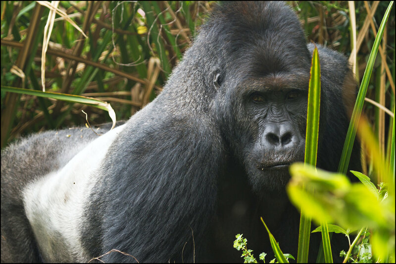 The World's Largest Gorillas Are Being Massacred Because of War