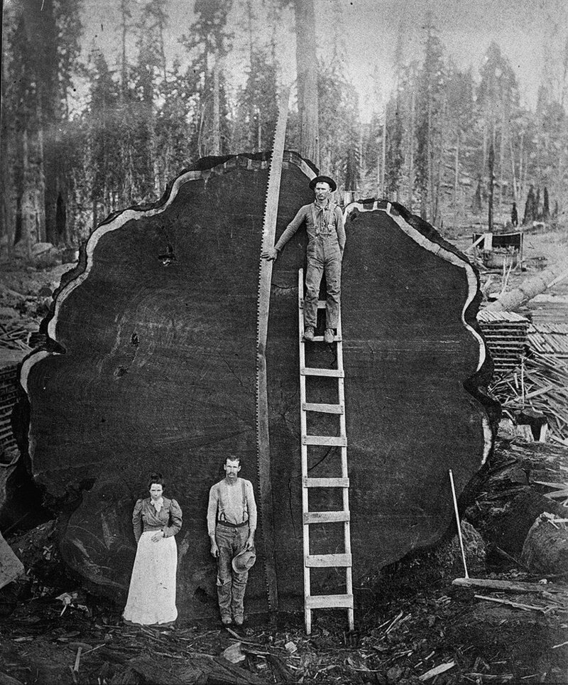 Vintage Photos Of Lumberjacks And The Giant Trees They