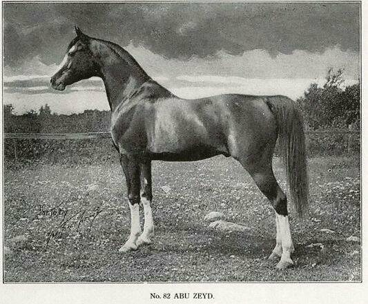 An Arabian stallion, Lord Fauntleroy's main competition and the crowd favorite.