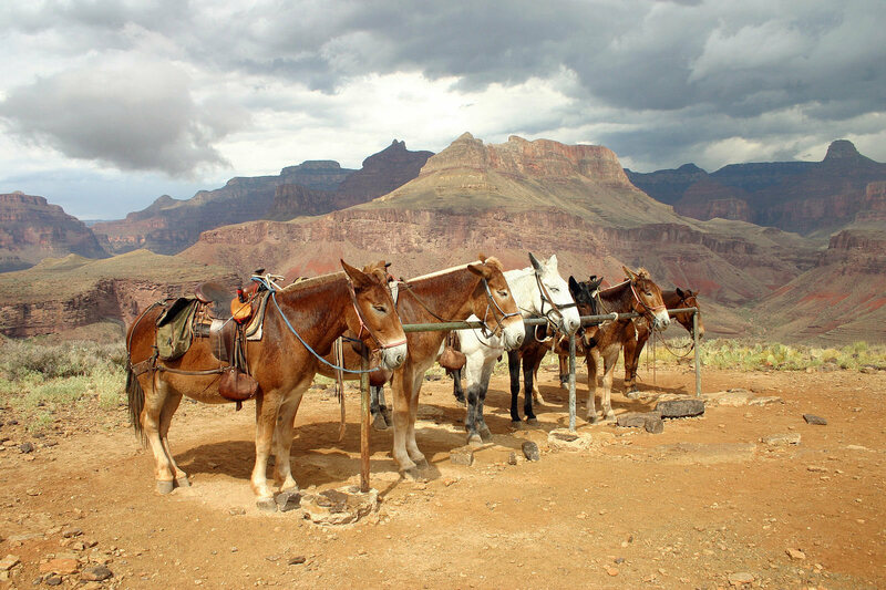 Mules getting ready to best the Grand Canyon.