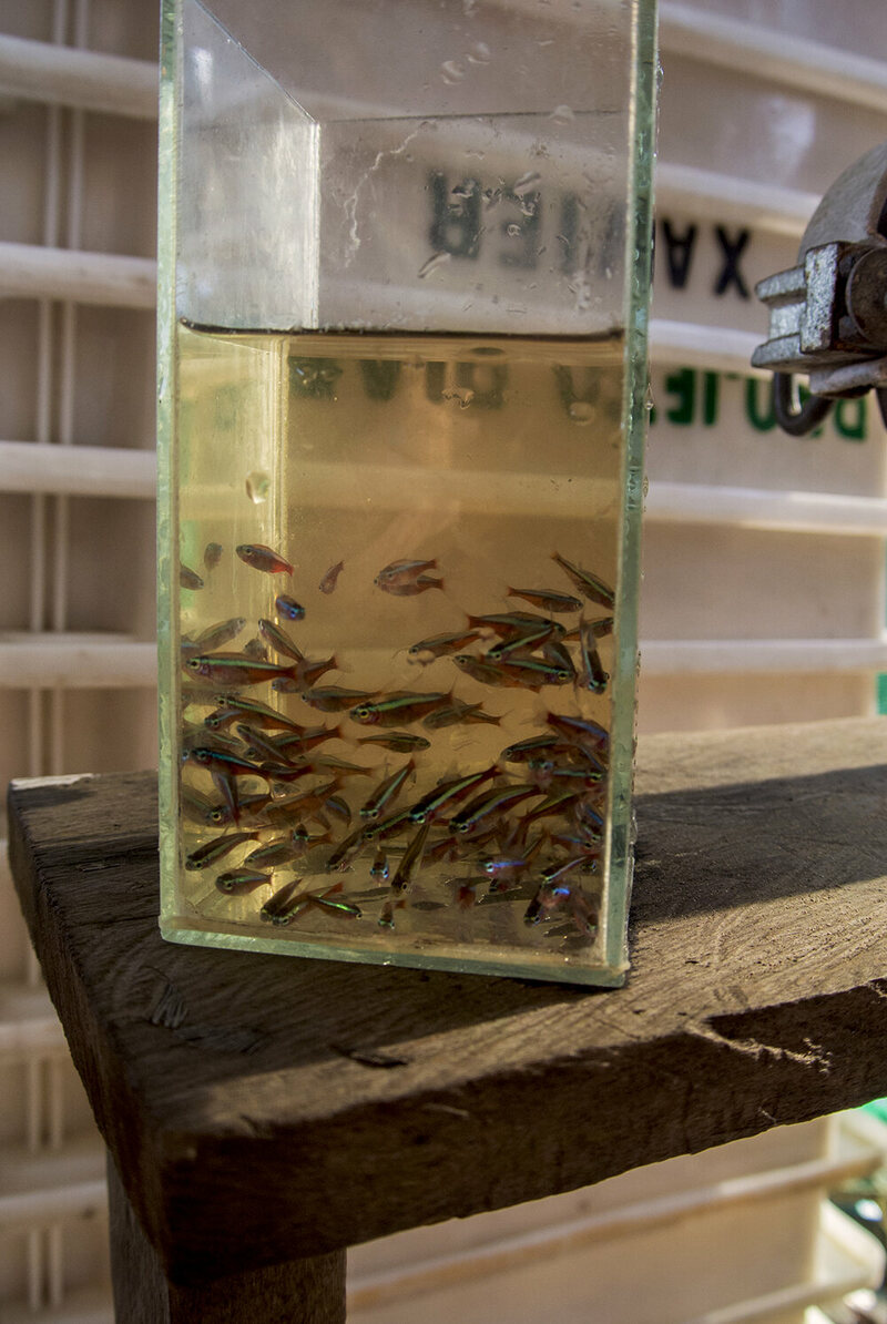 "Freshly-collected Cardinal Tetras in the region's characteristic ""black"" water. These fish will likely end up in pet shops and home aquariums in Europe or the US"