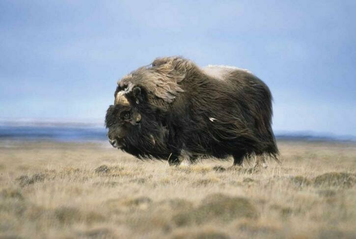 A bull musk ox, possibly out looking for love.