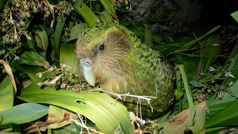 A kākāpō chows down on some berries.
