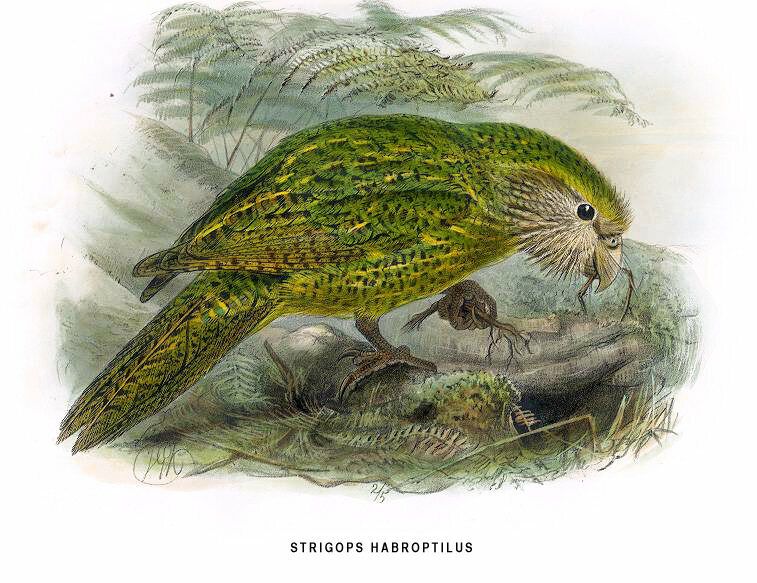 A kakapo illustration from Birds of New Zealand.