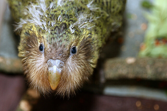 One of the world's least likely babies—a two-month-old kakapo chick.