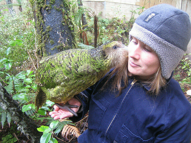 A kakapo snuggles with a member of the Rescue Programme.