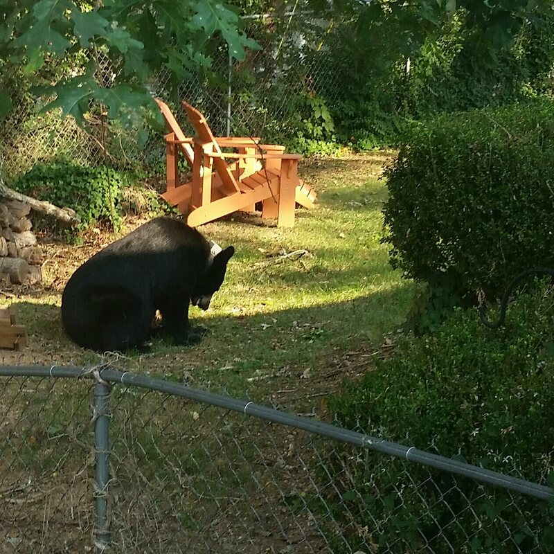 Another bear at Boll's, munching on acorns.
