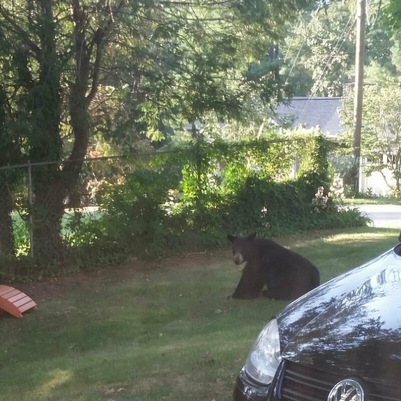 A black bear hanging out in Colleen Boll's front yard in Asheville, North Carolina.