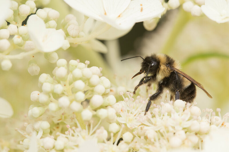 Today the rusty patched bumble bee exists only in Wisconsin and parts of Minnesota.