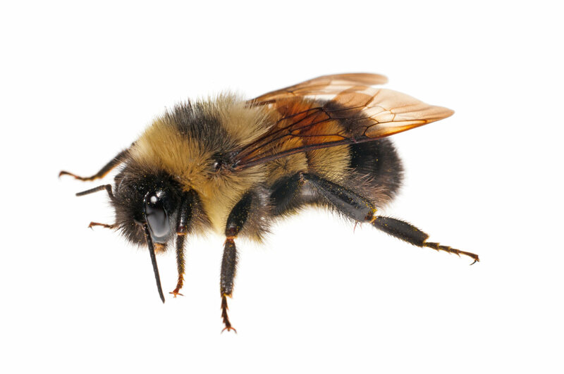 Rusty patched bumble bees, like this female worker, are in serious trouble. According to a recent U.S. Fish and Wildlife Service proposal, their populations have declined by as much as 95 percent since the late 1990s.