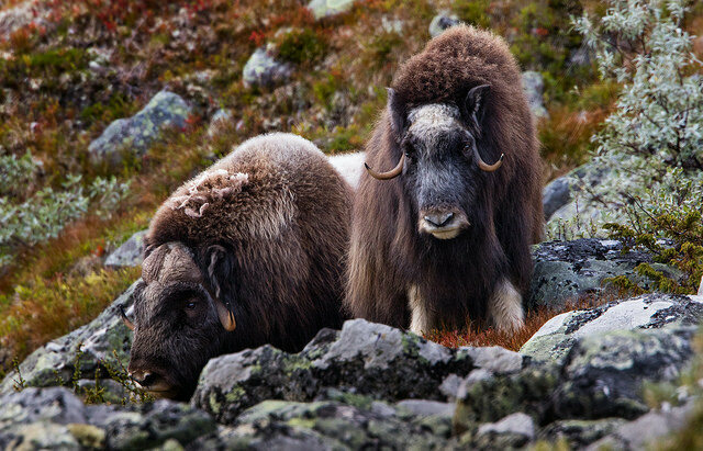 Two musk oxen in Norway's Dovre mountains.
