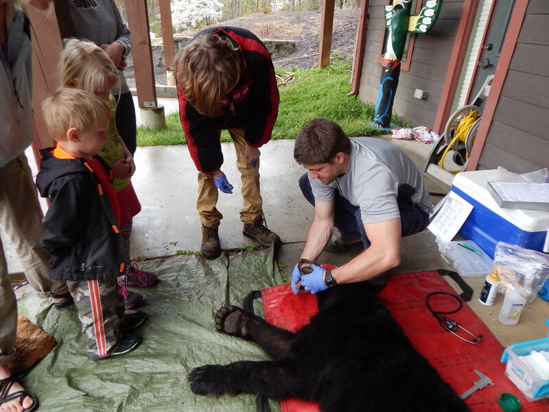 Nick Gould, the Urban-Suburban Bear Study's project lead, teaches Asheville children how the scientists determine how deeply a bear is sedated.