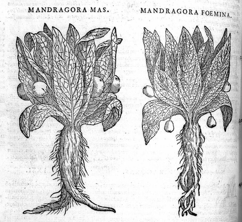 A woodcut showing two mandrake plants.