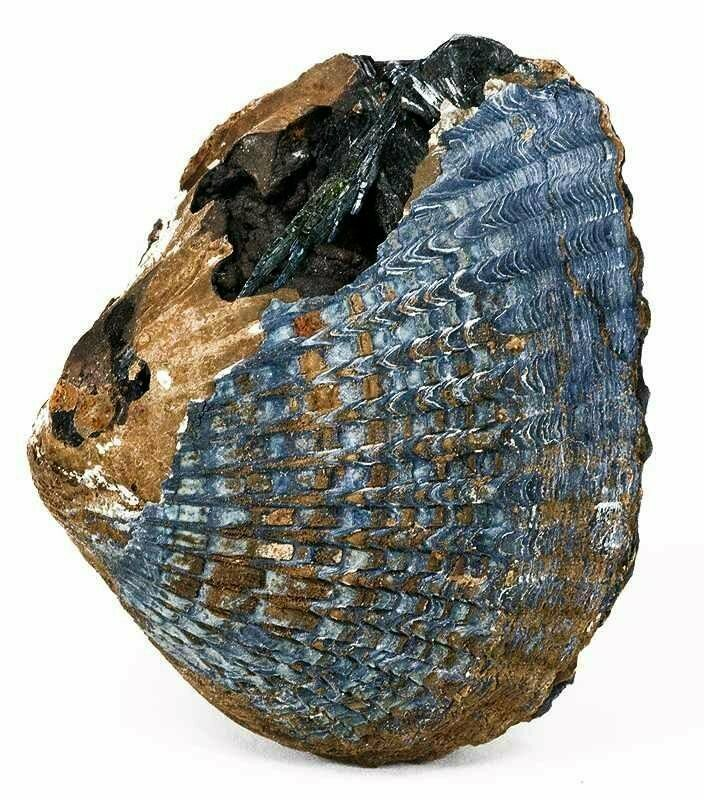 Vivianite on a fossilized mollusc shell.