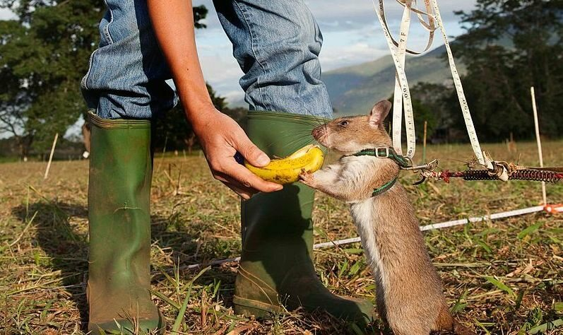 An African Pouched Rat, in training to find land mines in Tanzania.