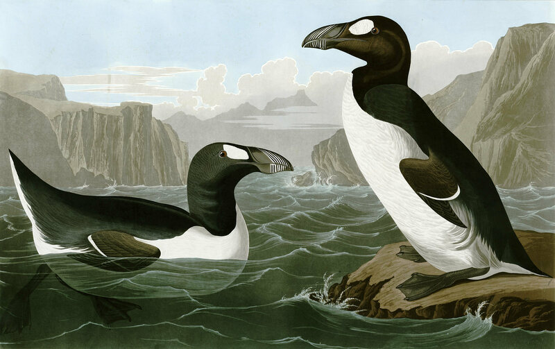 Great Auks, drawn by John James Audubon in Birds of America.