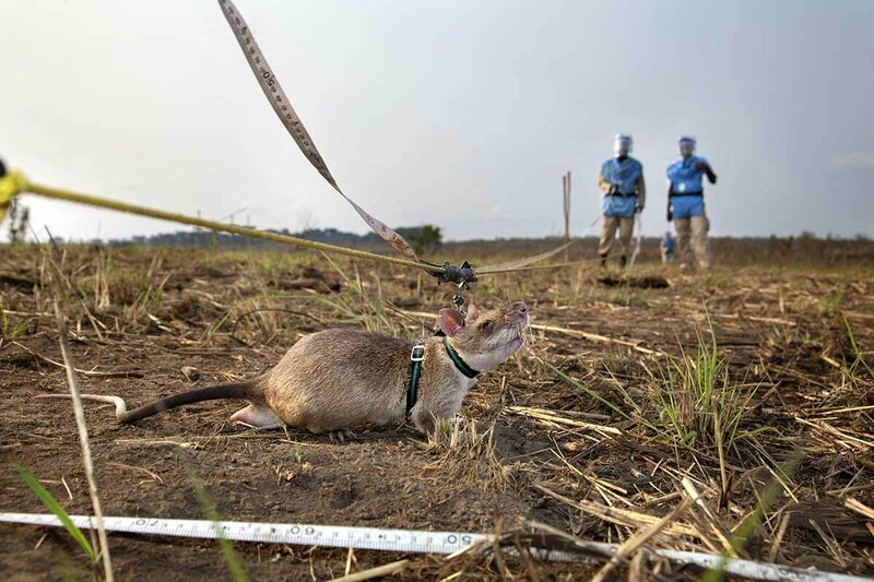 A HeroRAT is trained to find landmines.