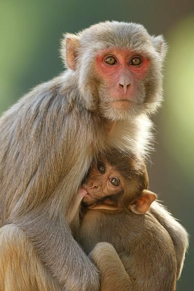 Mother and child rhesus macaque