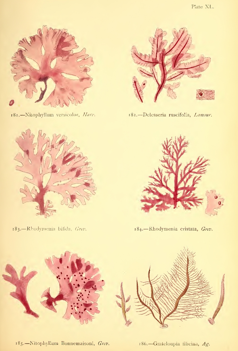 """Another page from Gatty's two-volume opus, """"British Sea-Weeds."""""""