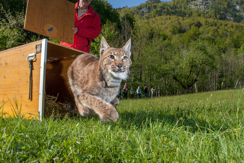 An adult female Eurasian lynx is released in Kalkalpen National Park as part of a continuing effort to reestablish healthy populations of the species in western Europe.