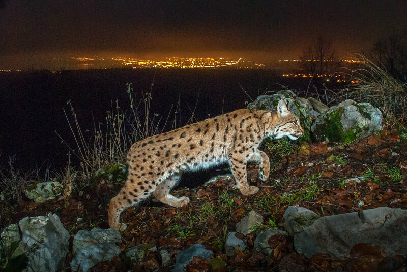 "A camera trap captures the image of a female Eurasian lynx, known to biologists as ""B218,"" with the lights of Yverdon-les-Bains, Switzerland in the distance."