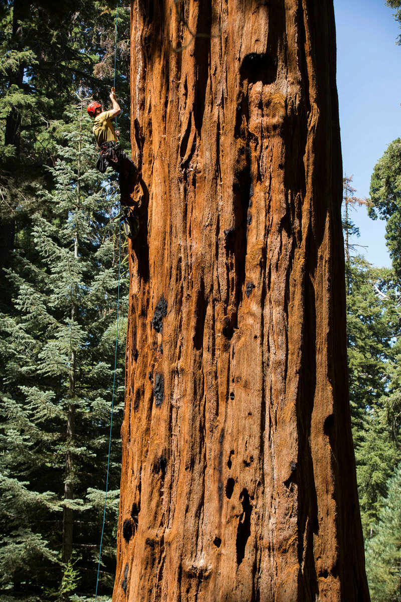 "Anthony Ambrose uses a technique called ""jugging"" to ascend into the crowns of the giant sequoia trees in Sequoia National Park."