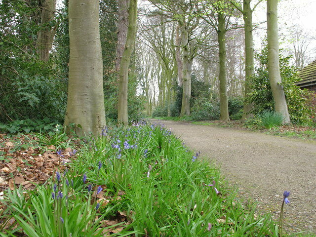 Bluebells, growing alongside a garden path signal that a woods may have once been there.