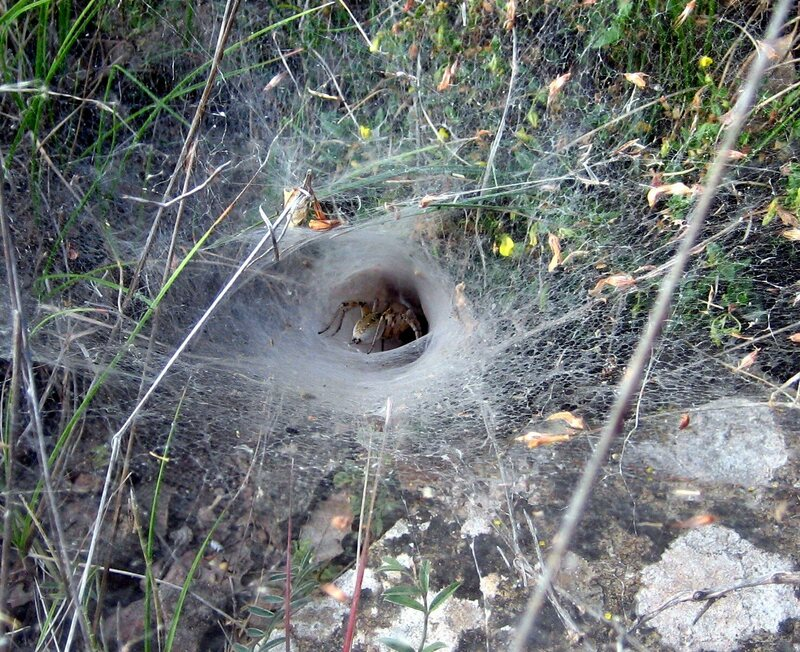 A funnel-weaver spider nestled in its web in Spain.