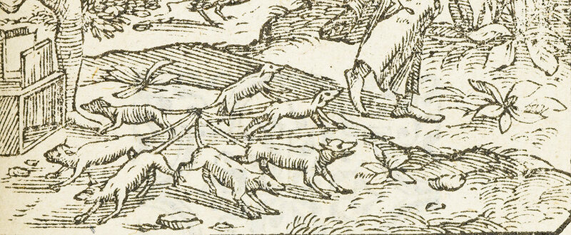 A 16th century illustration of a rat king.