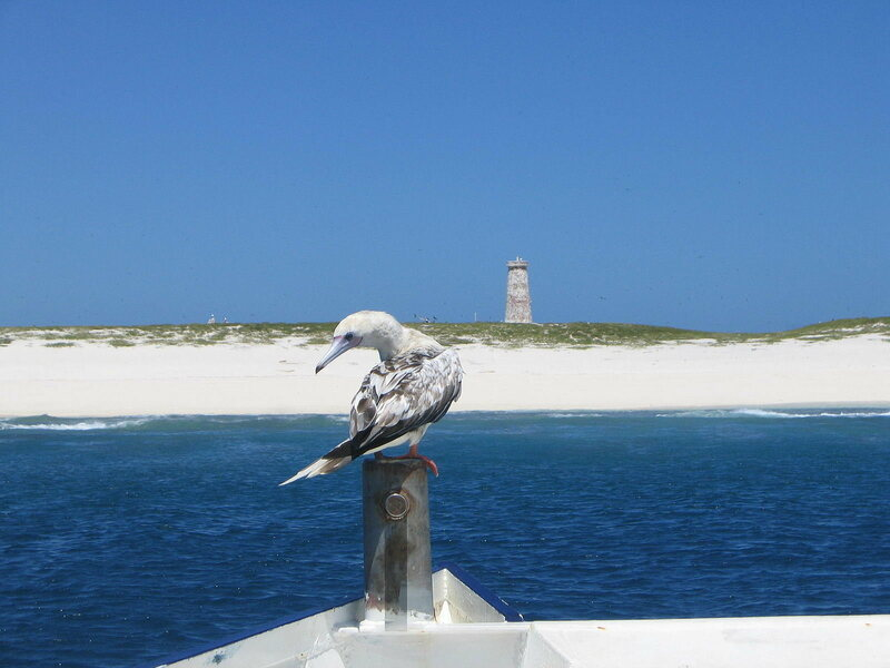A red-footed booby approaches the Baker Island shoreline, which sports a crumbling day beacon.