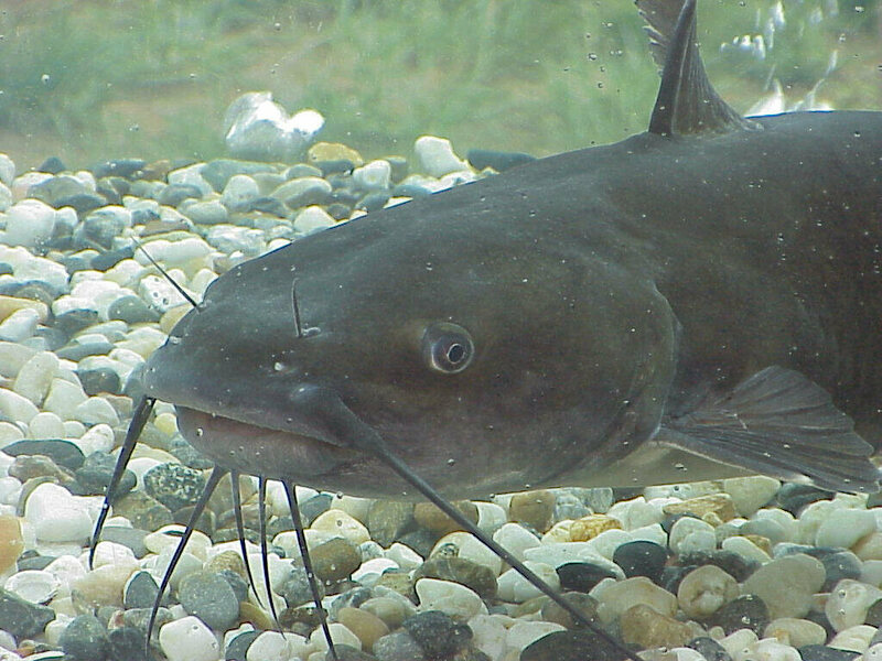 A bottom feeder with friends in high places. A US Catfish, likely unaware of his controversial status.