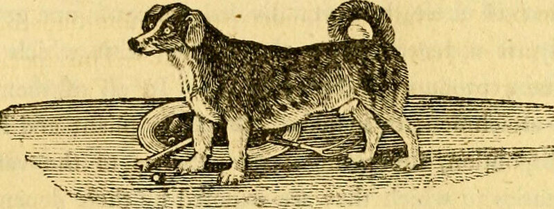 "An illustration of a turnspit dog, described in the 19th century as ""long-bodied, crooked-legged, and ugly dogs""."