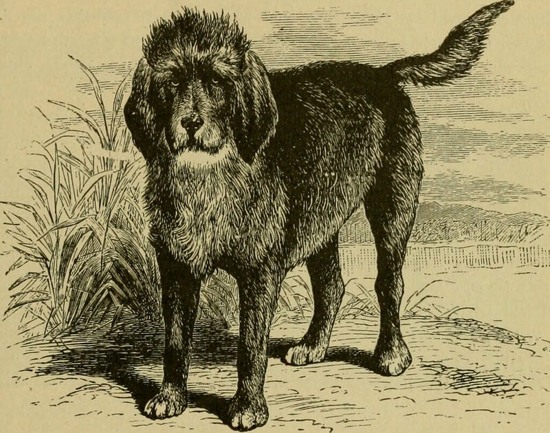 The breed of the turnspit dog is believed to have been either Welsh Corgis or a type of terrier.